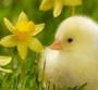 小毛球动画片|小毛球_可爱的小鸡作文700字